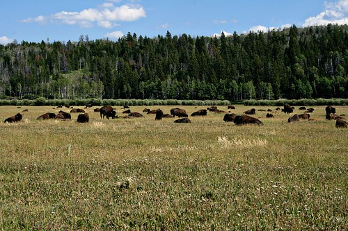 A herd of buffalo, along Hwy 191 in Grand Teton National Park.