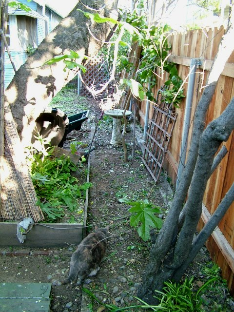 Between the fig tree and the fence---where the blackberries and shade-tolerant veggies will go