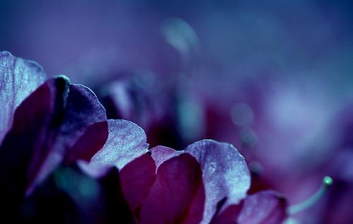 Day for Night — Pink Azaleas. (Kodak Ektar 100 — Blue Filter. Nikon F100. Epson V500.)