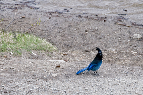 Stellers Jay at Emerald Lakeshore