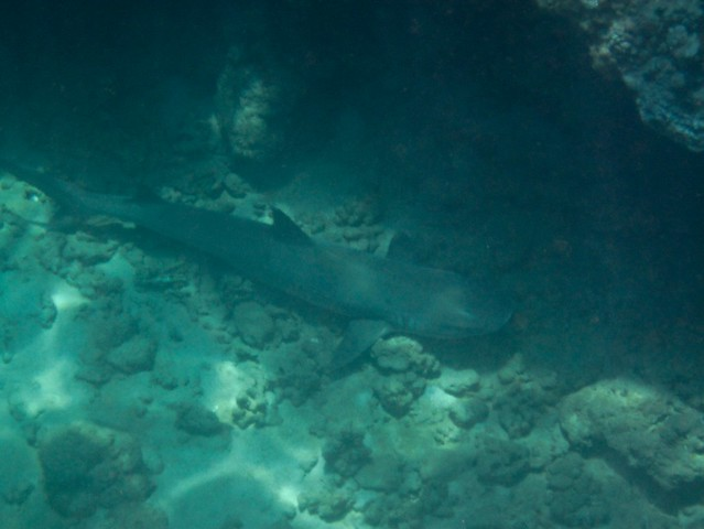Honolua Shark