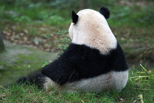 The Reluctant Panda