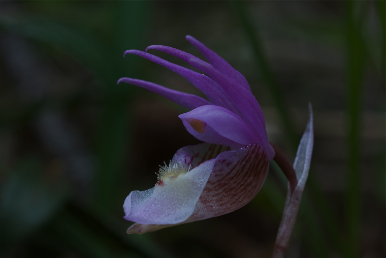 Fairyslipper
