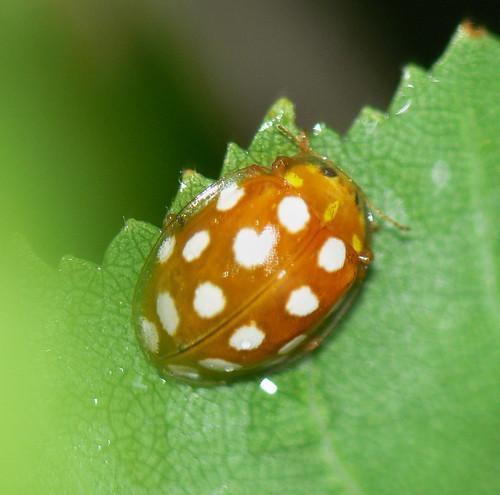 Orange ladybird (Halyzia 16-guttata)