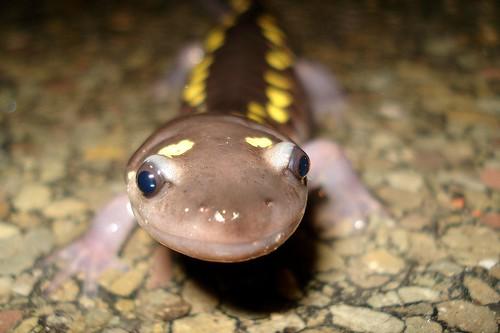 Spotted Salamander