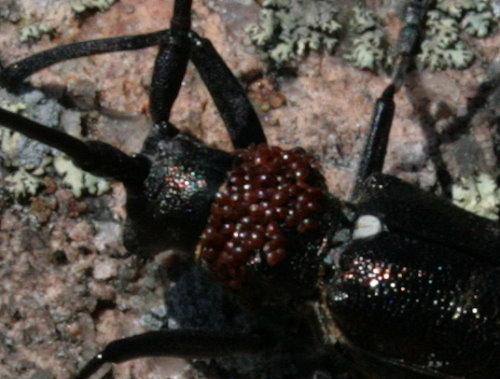 Male White-spotted Sawyer - Monochamus scutellatus