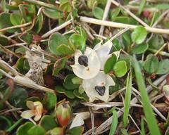 Muehlenbeckia axillaris fruits