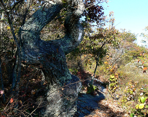 Sinking Creek Mountain - Top - Wind Mangled Tree (Cropped)