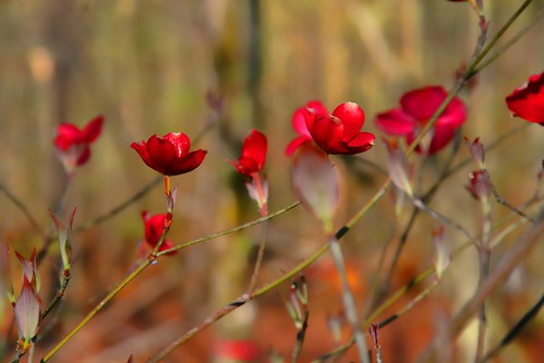 Red Dogwood Blossoms
