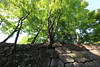 Photo:Trees from a stone wall / 木(き) By