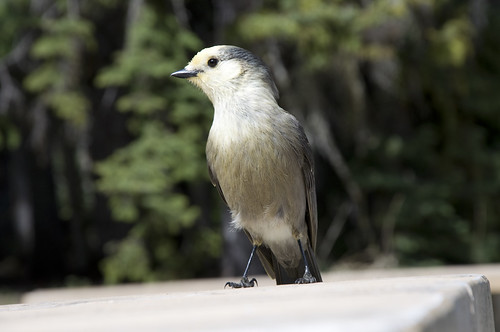 Gray Jay at the Emerald Lakeshore