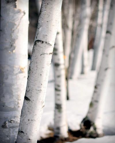 Birches in their Winter White