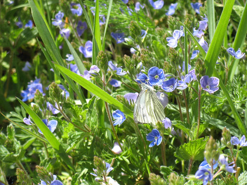 Green-veined White on Germander Speedwell