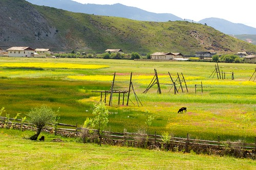 The lush fields of Shangri-La are used for growing barley and raising yak.
