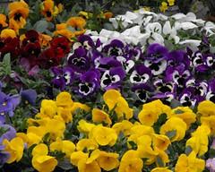 violen op de Delftse bloemenmarkt
