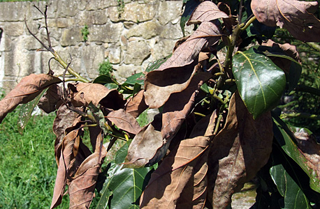 abacateiro com folhas queimadas