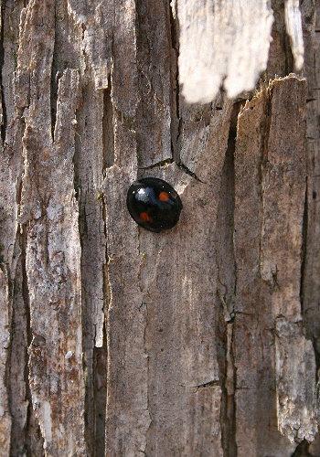 Twice-stabbed Ladybeetle, Chilocorus stigma