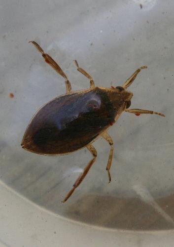 Water bug, Belostoma sp.