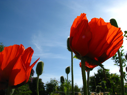 my_morn_with_the_poppies
