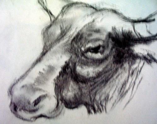 Water bufffalo. Drawing and Photo: Ulla Hennig