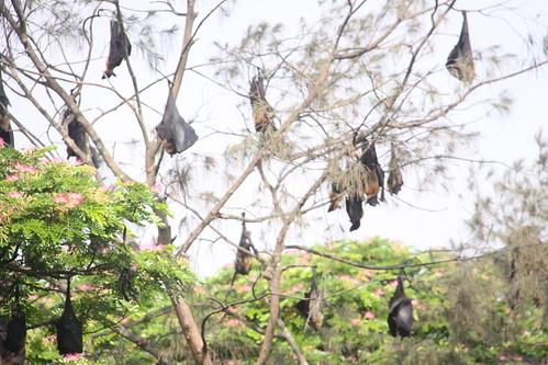 Fruit bats, Sittwe, Myanmar (Burma)