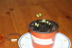 Broccoli 28-05