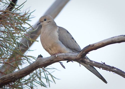Mourning Dove by you.