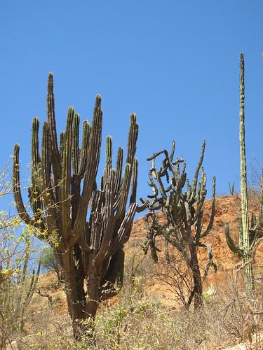 Cacti in the Batopilas canyon