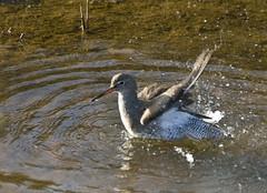 Redshank bathing