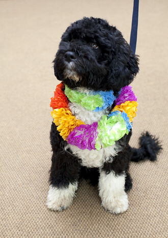 Obama Portuguese Water Dog Bo by Daniel Semper.