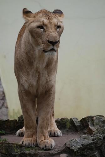 Afrikanische Löwin im Zoo Riga