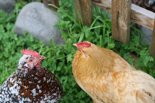 Chickens out after a rainy week