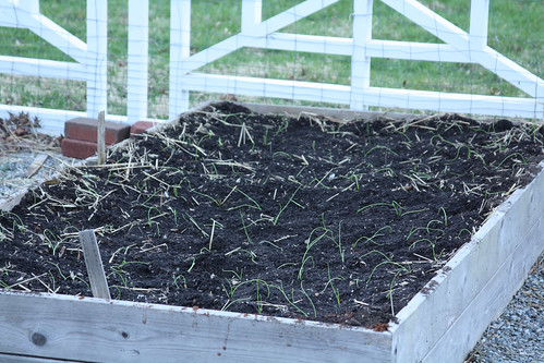Onions Transplanted