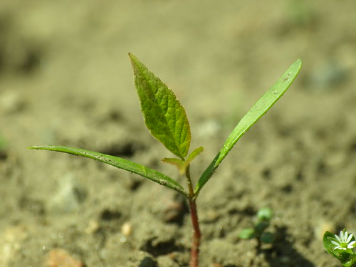 Tree seedling, courtesy of Fire Engine Red, Flickr, under Creative Commons.