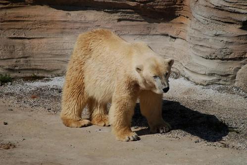 Eisbärin Irka im Zoo am Meer in Bremerhaven