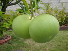 Two pomelos (Citrus maxima/grandis)