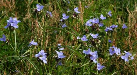 DSC_0658ABCD-BlueFlowers-2
