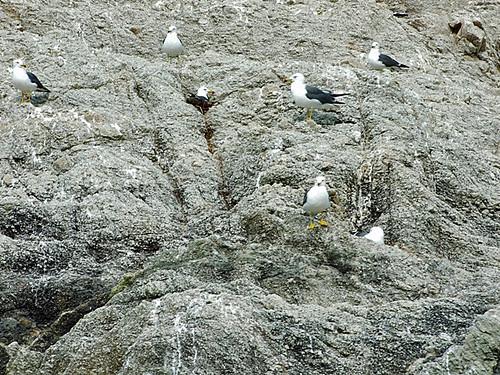ウミネコの繁殖地~笹川流れ