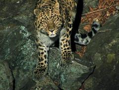 Barabashevskii, male Amur leopard