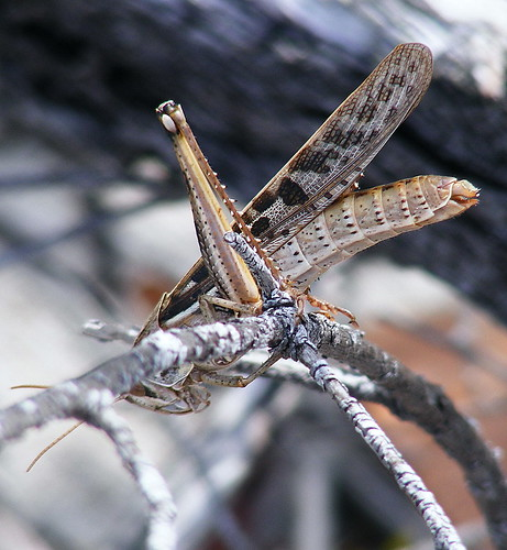 Large South Florida Grasshopper