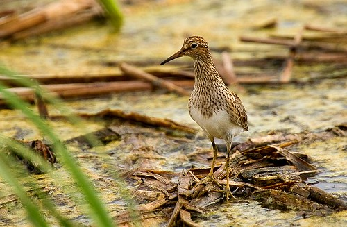 Pectoral Sandpiper - Lower Rio Grande Valley_H8O5207-71