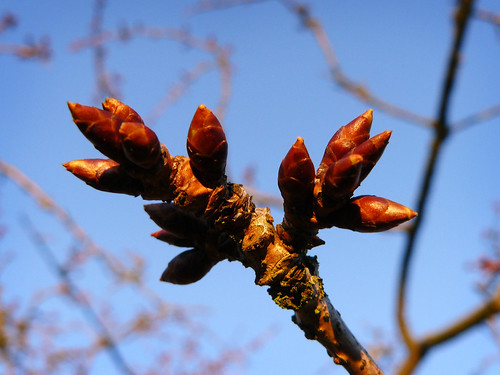 Buds on the Japanese Cherry Tree
