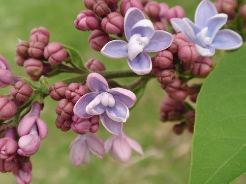 lilacs, blooming