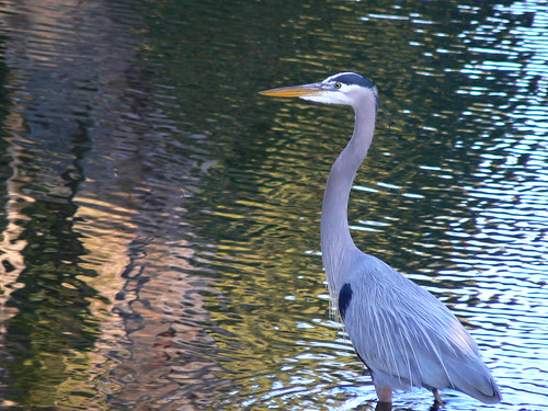 Pine Lake Drive - Heron with Colored Reflections
