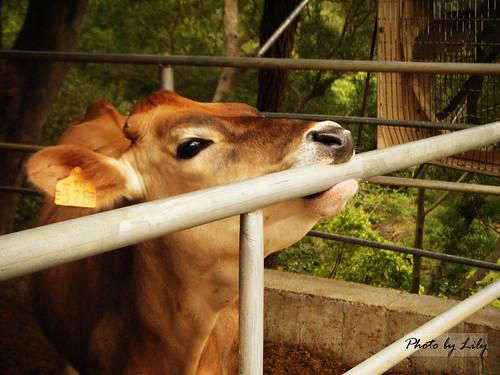 正在磨牙的小娟姍牛。