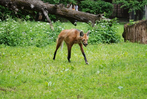 Mähnenwolf im Zoo Kaunas