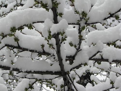 Spring Buds Under Snow