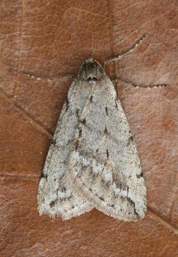 6662 - Paleacrita vernata - Spring Cankerworm