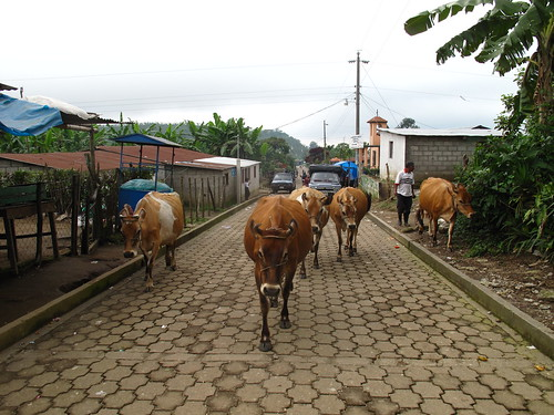 Cows on the streets of Fatima
