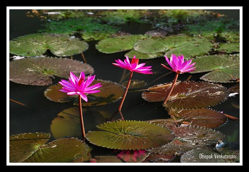 A bunch of lotuses